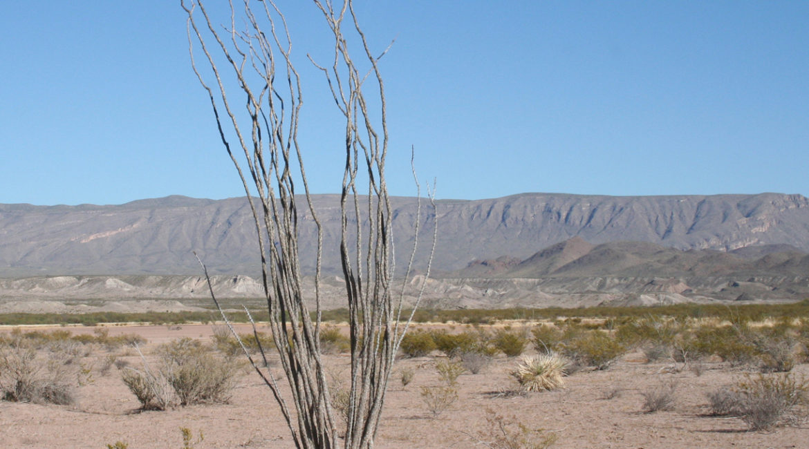 Desert scene with dried ocatillo.