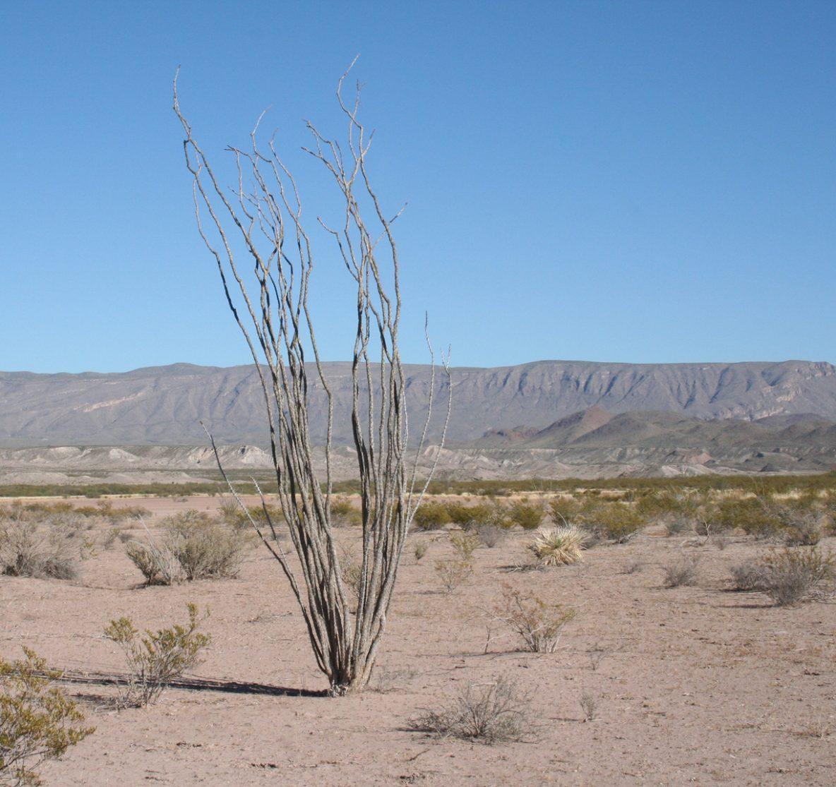 Desert scene with dried ocatillo.